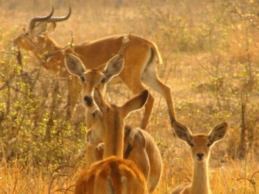 antilopes during a safari in Ghana