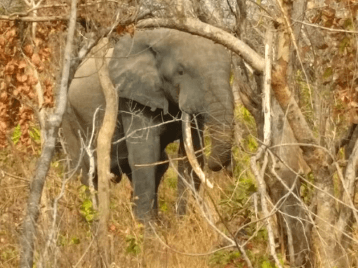 upclose and personal with an elephant at Mole NP